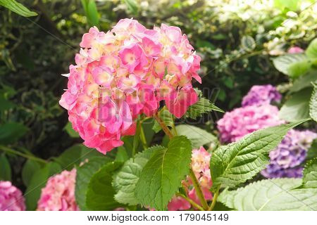Closeup view of the beautiful pink flowers of Hydrangea macrophylla or Hortensia in the garden.