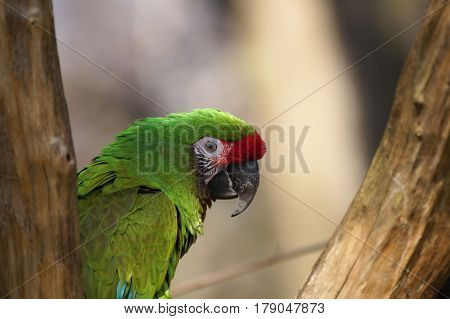 Military Macaw (ara militaris) resting on a branch