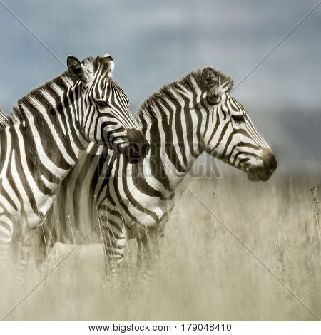 Two zebras in the savannah, Serengeti, Africa