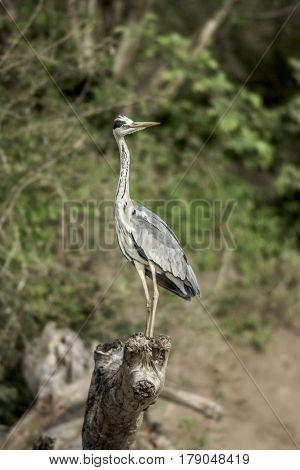 Grey Heron in Serengeti, Africa