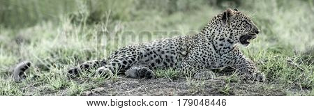 Leopard lying in Serengeti, Africa