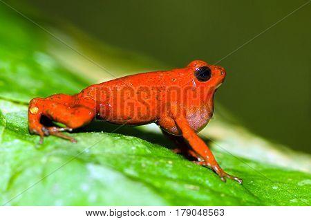 Singing male of the strawberry poison frog (Oophaga pumilio) shot in Costa Rica, Grandoca-Manzanillo wildlife refuge.