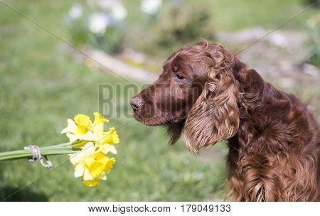 Beautiful Irish Setter dog smelling spring flowers