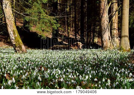 Amazing blooming snowdrops on a large area in a forest near a tree trunk. Snowdrops