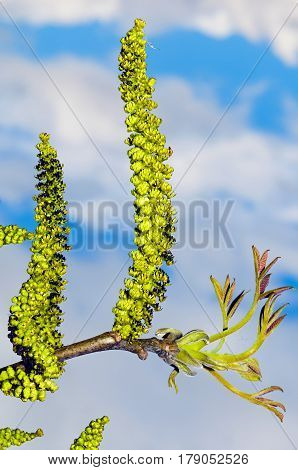 Male flowers in the catkin of a common walnut (Juglans regia).