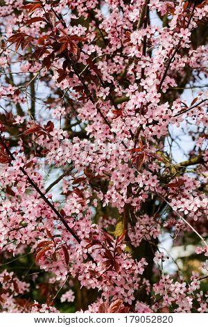 Cherry Plum (prunus Cerasifera Nigra), Blossom Flowering