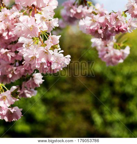 Spring Pink Flowers, Prunus Kanzan Kwanzan Cherry Blossom