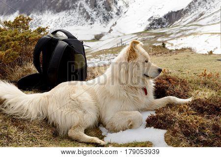 the beautiful Pyrenean Mountain dog, mountain blackgrond