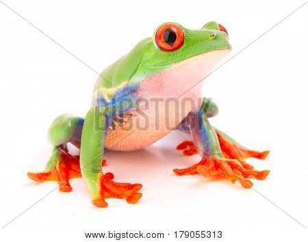 Red eyed tree frog a tropical animal from the endangered rain forest in Costa Rica siolated on white.