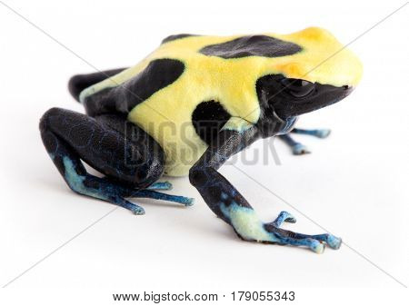 Yellow back poison dart frog Dendrobates tinctorius. Isolated on white.