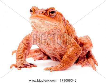 Common toad Bufo bufo isolated on white background
