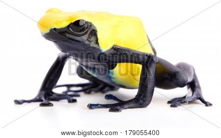 poison dart frog with yellow back, Dendrobates tinctorius citronella isolated on white background. A poisonous animal from the Amazon rain forest of Suriname.