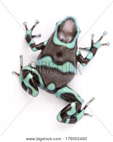 poison dart, Dendrobates auratus bronze morph. A toxic tropical animal from the rain forest of Panama. Isolated on a white background.