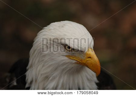 American Bald Eagle Isolated from Background Head Shot
