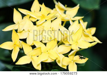 Macro of Yellow Ixora or Rubiaceae flowers in the garden