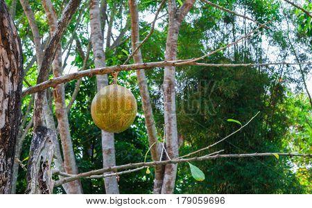 Closeup to Produce of Wild Calabash Tree/ Crescentia Cujete L./ BIGNONIACEAE