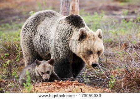 Mother brown bear protecting her little cub with great care
