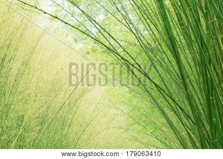 Fresh bamboo tree in the forest background