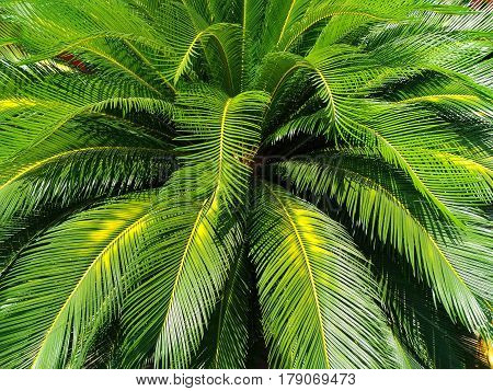 green leaves of Cycad palm tree plant use for garden and park decorated summer holiday