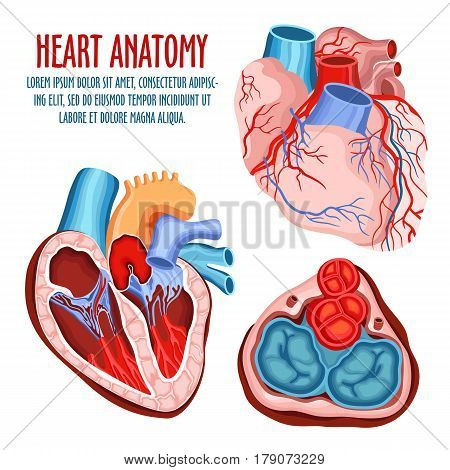 Anatomy of heart, human coronary organ with atrium and aorta, vein and artery for blood pulsation. Medical education and anatomical science poster, biological and surgery, health care and blood theme