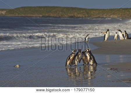 Group of Magellanic Penguins (Spheniscus magellanicus) in a huddle on the beach before heading to sea on Sealion Island in the Falkland Islands. Group of Gentoo Penguins (Pygoscelis papua) beyond.