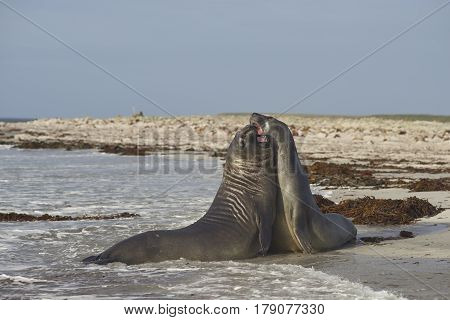 Southern Elephant Seals (Mirounga leonina) testing their strength against each other in the surf of Sealion Island in the Falkland Islands.