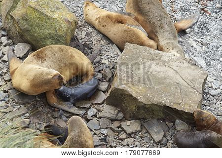 Female Southern Sea Lion (Otaria flavescens) with newly born pup on the coast of Sealion Island in the Falkland Islands.