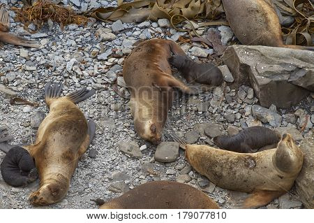 Female Southern Sea Lions (Otaria flavescens) with new pups on the coast of Sealion Island in the Falkland Islands.