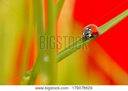 Ladybird (Coccinella septempunctata) seven-spot beetle walking on the a blade of grass as background