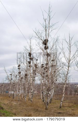 Many empty bird's nests in branches of birch tree in March, arrival of spring in the country
