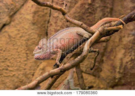 Malagasy giant chameleon or Oustalet's (Furcifer oustaleti) male