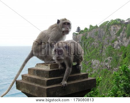 Monkey at the temple of Uluwatu on the island of Bali, Indonesia
