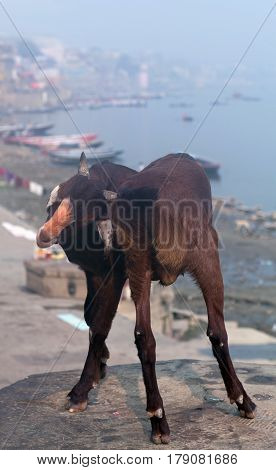 Goat at cremation Ghat in Varanasi, India
