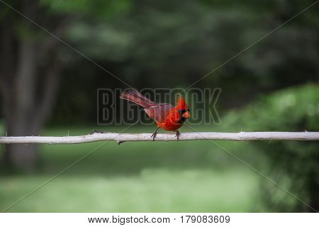 Common Red Cardinal
