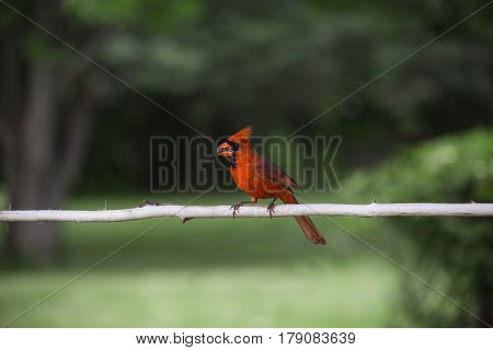 Red Cardinal With A Seed