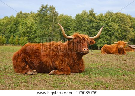 Cows red Highland cattle (Scottish Gaelic) lying on pasture