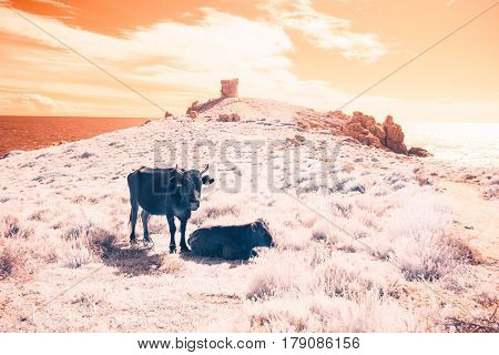 an infrared shot of cows on a pasture with the mediterranean sea and an old watchtower in the background. this photo was taken with a modified, infrared-capable DSLR.