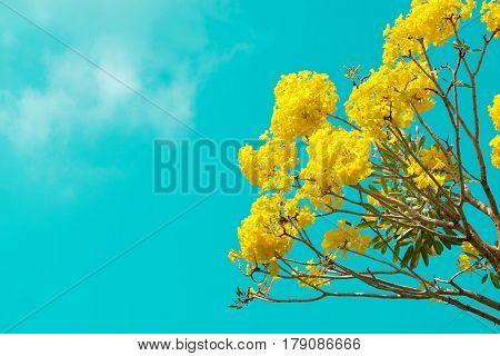 Tabebuia argentea Britt. and blue sky at thailand