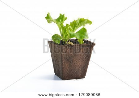 lettuce seedling on a peat pot isolated on white background