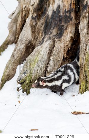 A spotted skunk hunts for prey in a snowy forest habitat.