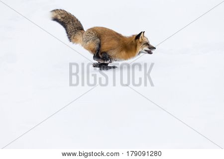 A red fox hunts for prey in a snowy forest habitat.