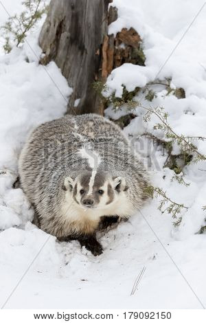 A badger hunts for prey in a snowy forest habitat.   poster