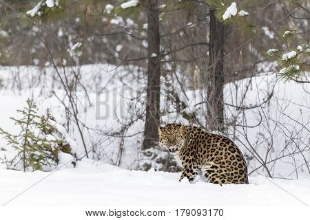 Amur Leopard in a snowy forest hunting for prey.