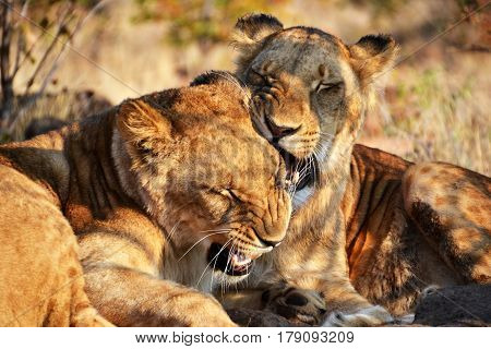 Lions Near Victoria Falls In Botswana, Africa