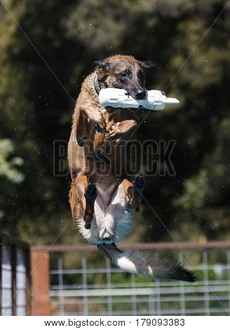 Belgian Malinois with toy bumper in mouth during dock diving evente