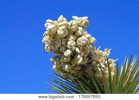 Closeup of a Joshua Tree Bloom in Joshua Tree National Park