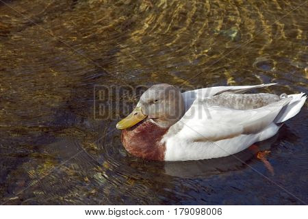 A duck sitting in the clear running water