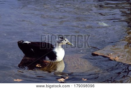 A duck in the water with rocks