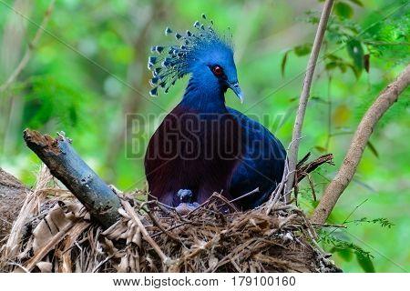 Victoria Crowned Pigeon, Victoria Goura.