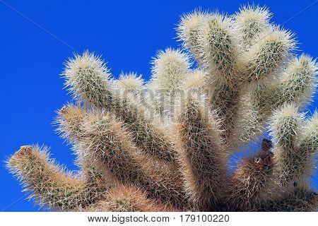 Closeup of a Sunlit Cholla Cactus in Joshua Tree National Park